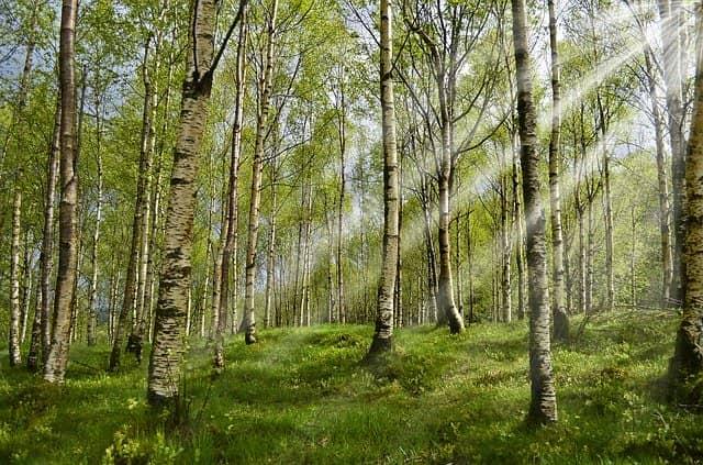 白樺の木の画像。